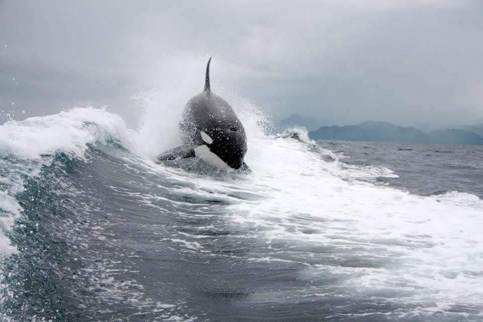 Orca Riding Wake2